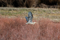 Blue Heron Flying _0010