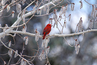 Red Tanager_0006