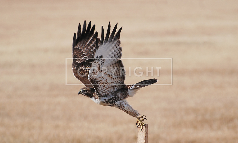 """""""The Launch"""" Red tail Hawk _0719"""