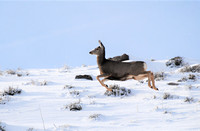 Leaping Doe_0079