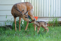 Doe with Fawn_0007
