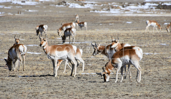 Pronghorn herd_2562