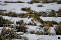Coyote Hunting_8787 G